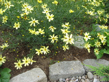 Yellow flowers in a garden